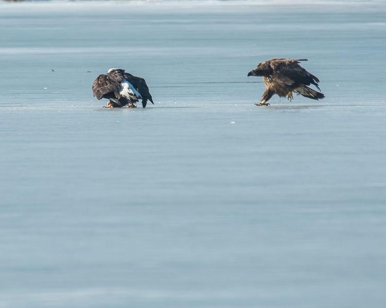 Eagles with fish Annsville Jan 2014-8