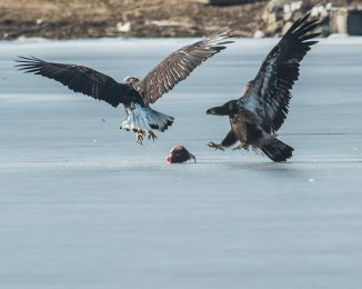 Eagles with fish Annsville Jan 2014-9