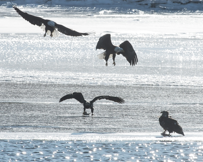 Eagles with fish Croton Jan 2014-3