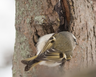 Golden crowned kinglet at Croton Boat Ramp Jan 2014-1