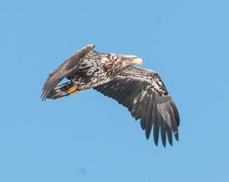 Young eagle at Croton 2014
