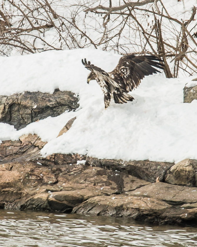 There is a fish underneath that snow.   A dozen eagles were watching from above.