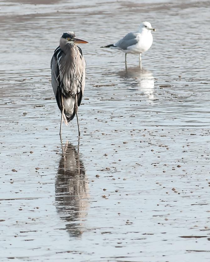 Very cold heron at Croton Boat Ramp