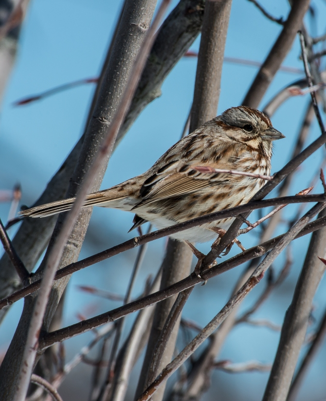 The song sparrows are going to take over the world.  There are  lots of them around.