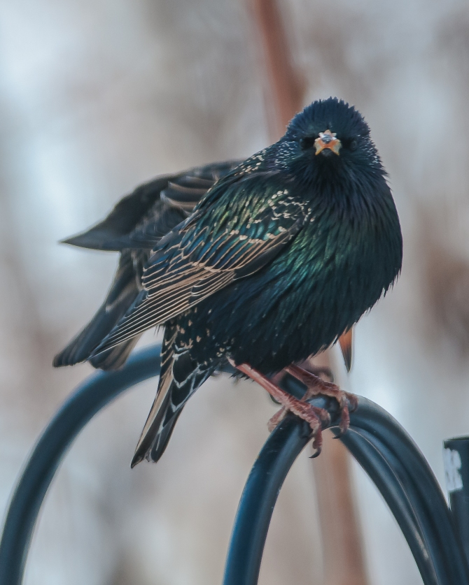 Another bathing beauty.  Sometimes I really like those starlings.