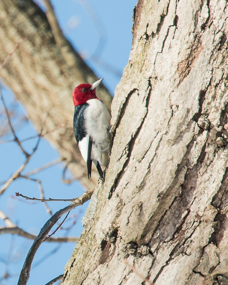 The red-headed woodpecker is still in Croton.