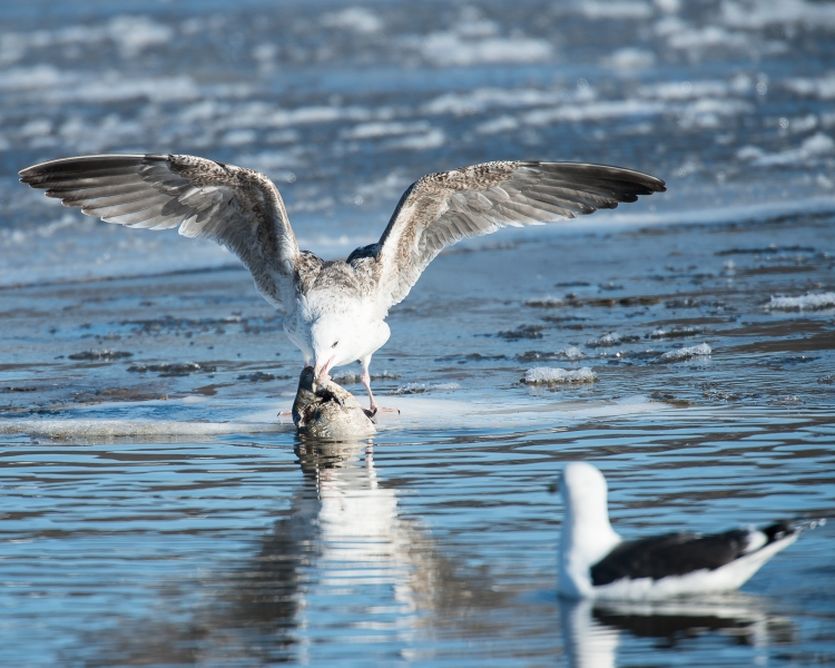 Ring-billed gull pulling a carp out of the water