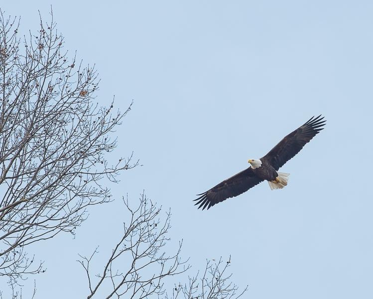 Eagle pair getting ready