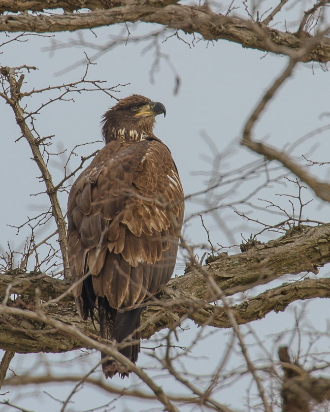 First year eagle hanging with the adults.