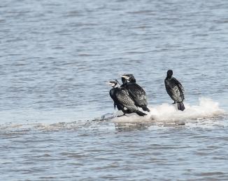 Cormorant Lookout Team