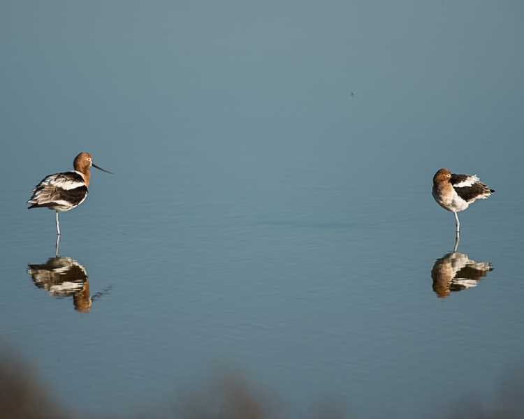 ... and avocets