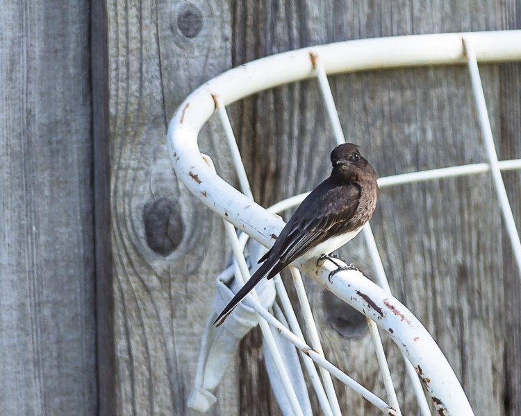 One of the pair establishing its nesting territory