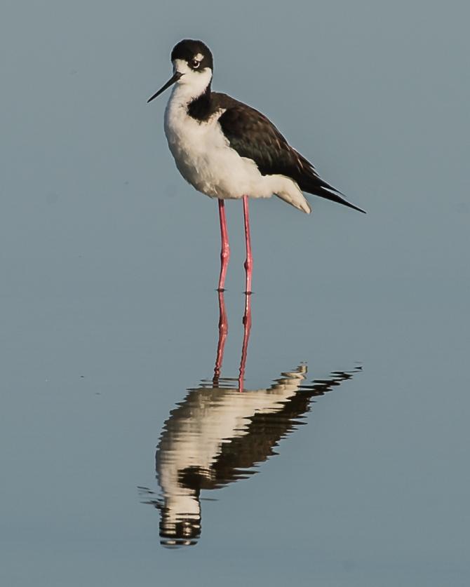 Obligatory black necked stilt