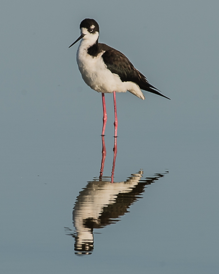 Obligatory black necked stilt