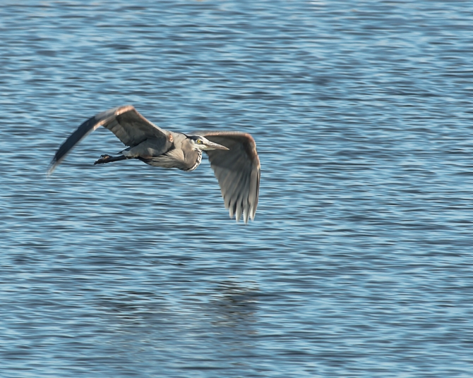 Heron enjoying the marsh