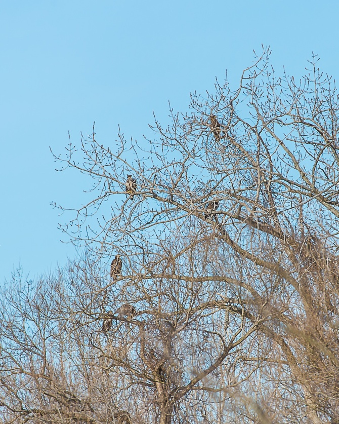 There were twelve eagles in the Croton Boat Ramp tree at one point.