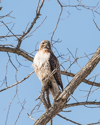 The red-tail is sharing the hunting space with the harriers.