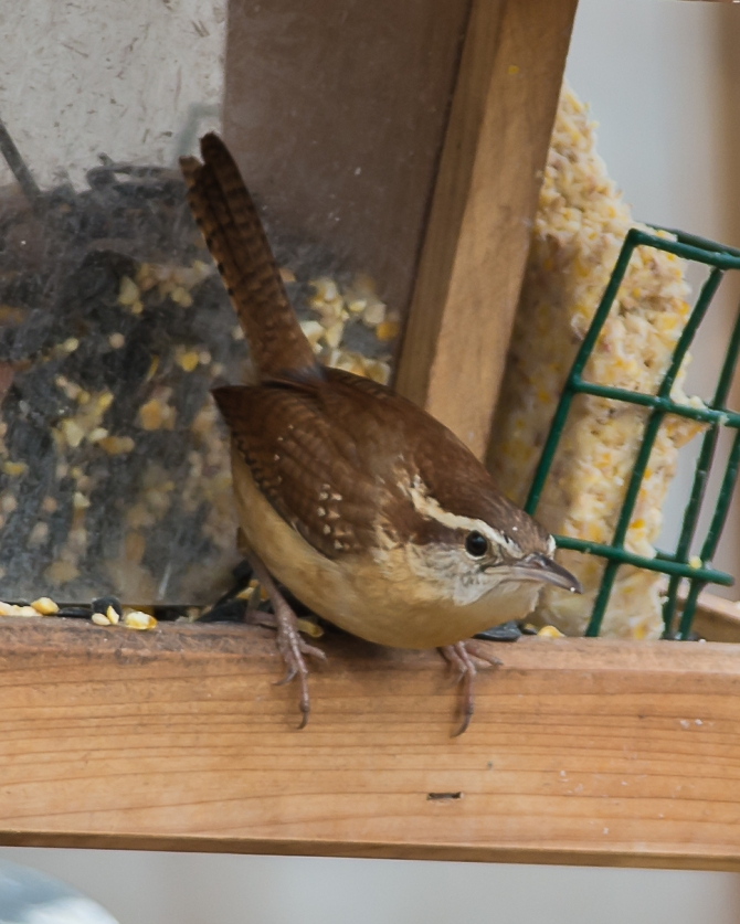 Saw Mill River Audubon signature bird, Carolina wren