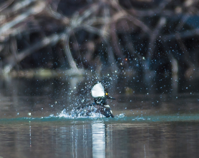 Hooded merganser wooing his lady