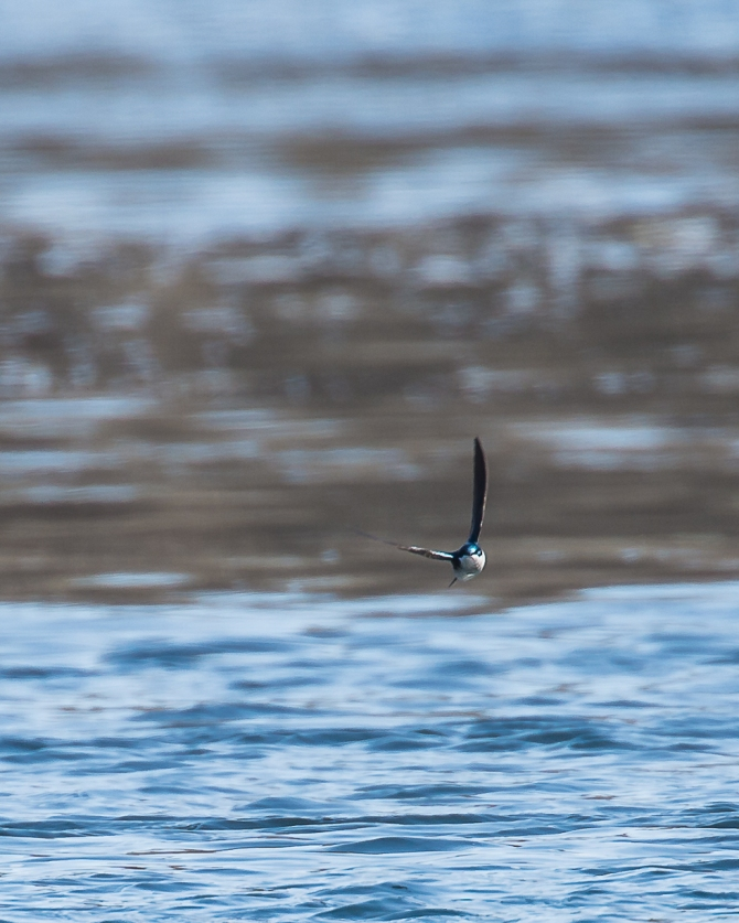 Elusive tree swallow in flight.  My camera caught this one.  There is a flock.