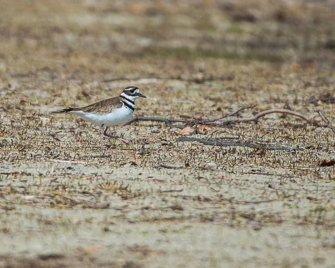Sure sign of spring when the killdeer appear.