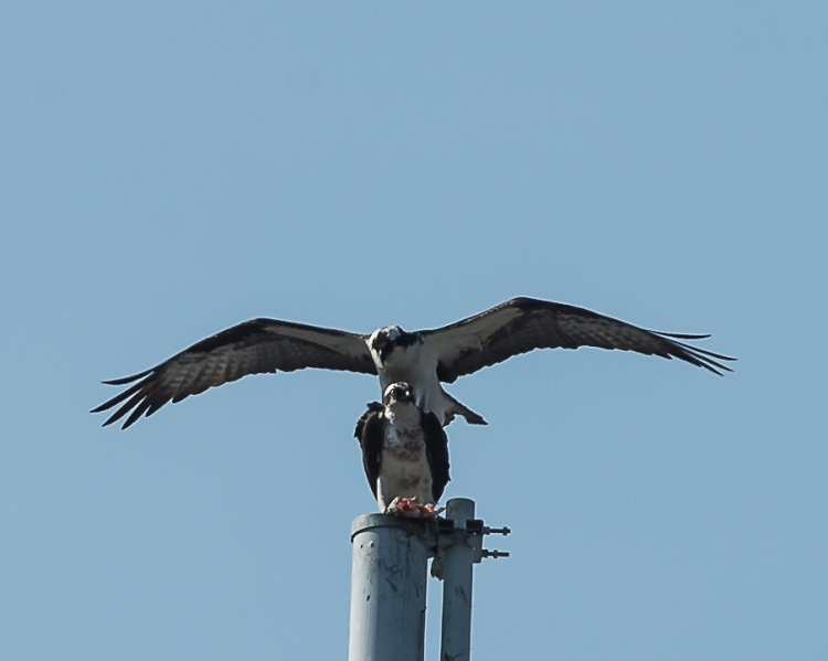 Ospreys doing their thing.
