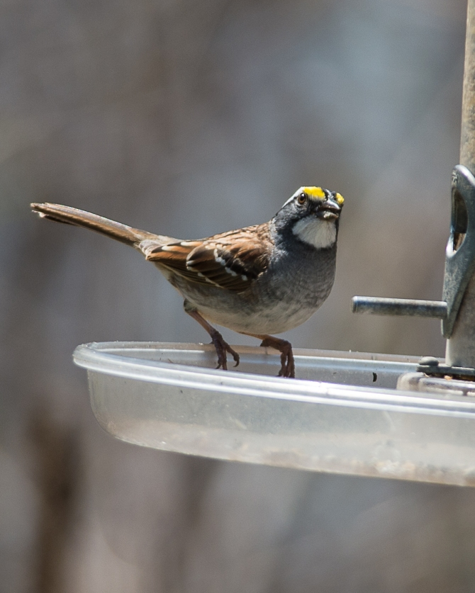 Anne's brilliant white throated sparrow