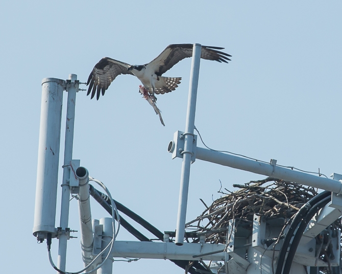Yup.  He circled around and came to to the nest.  I think he left part of the fish for her.