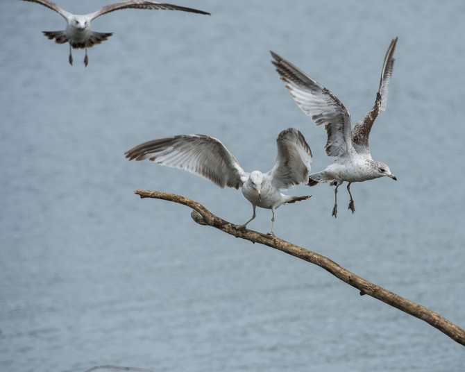 Herring gulls in action.  Happy Earth day!