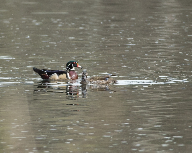 Can't quite get close enough to the wood ducks, but you get the idea.
