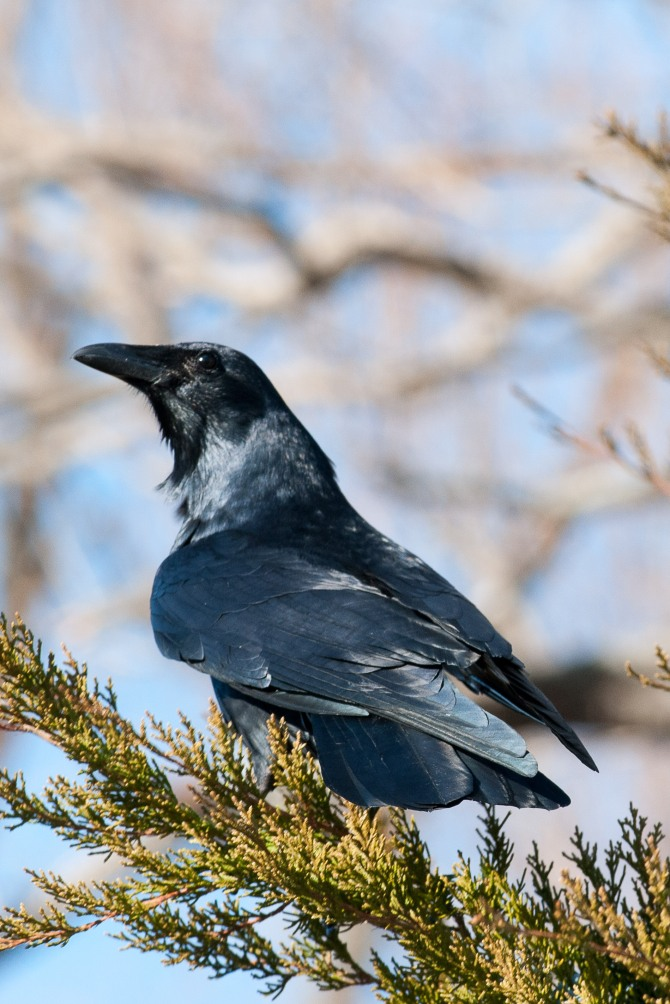 Crow on cedar