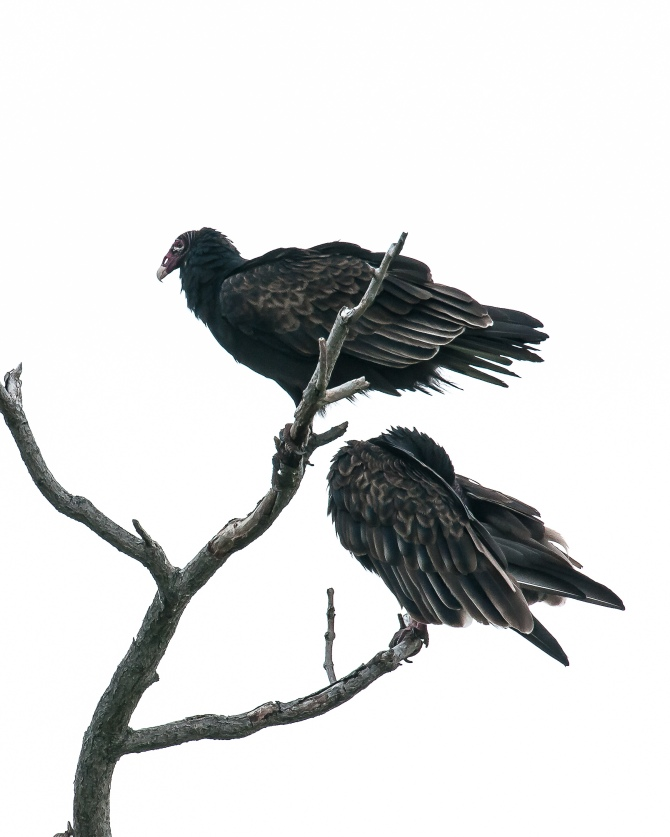 Couldn't believe that this one was so similar to the Audubon print