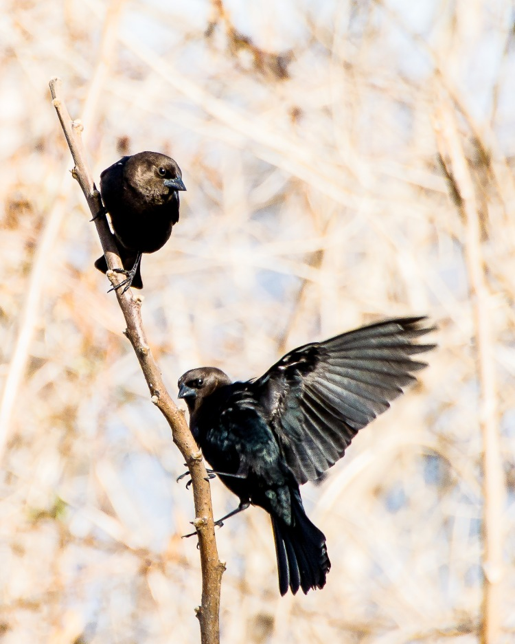 Yes, I know about cowbirds.  They are total cheats.