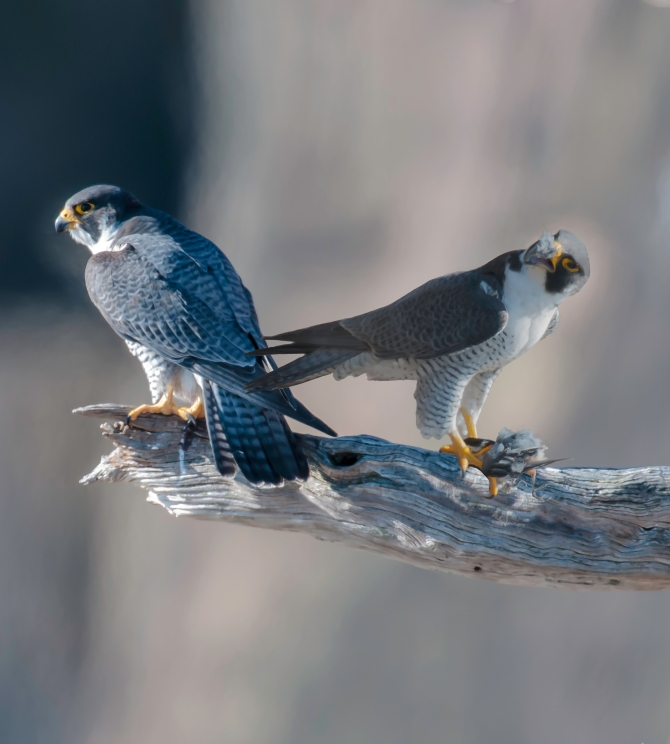Peregrine season is in full swing.