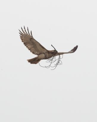 Red-tail refurbishing the nest