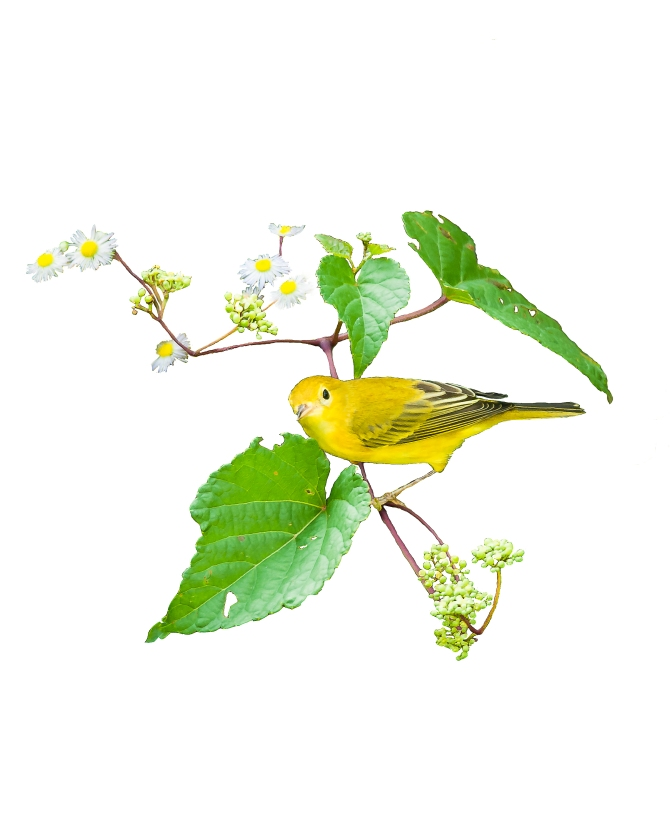 This is an altered version of my header.  Yellow warbler from 2013
