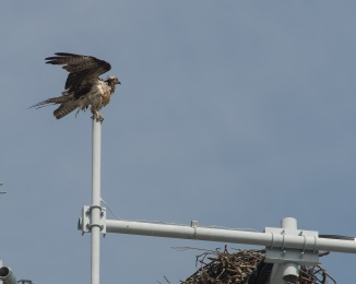 Wet osprey