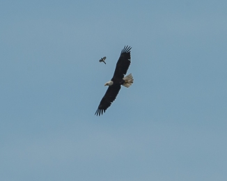 This mockingbird does not like the eagle.