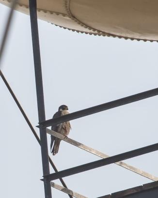 Campbell falcon