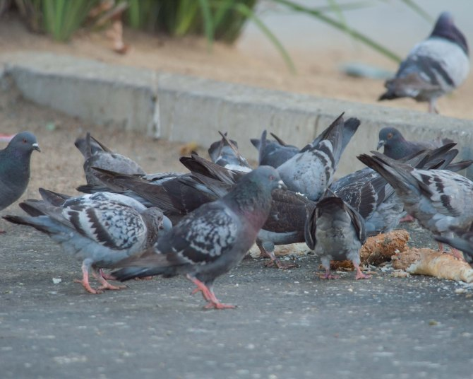Falcon Food