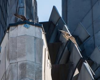 Rochester falcons 2014-14
