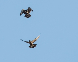 Rochester falcons 2014-25