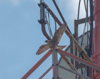 Rochester falcons 2014-3