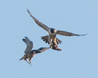 Rochester falcons 2014-35