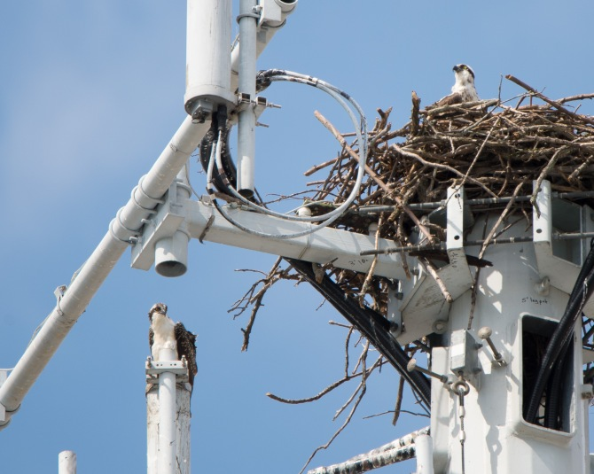 Osprey are still on the tower.  Hope that young one has fledged.