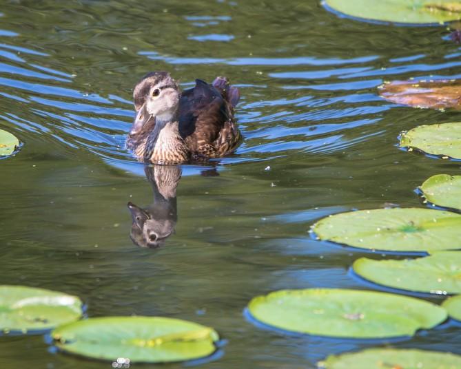 Juvenile wood duck at Rockefeller