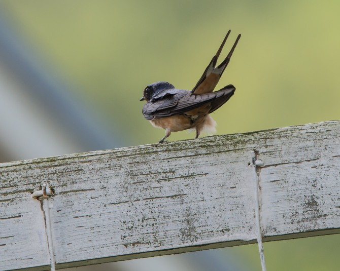 Muscoot Farm Bird Walk 8-4-14-3