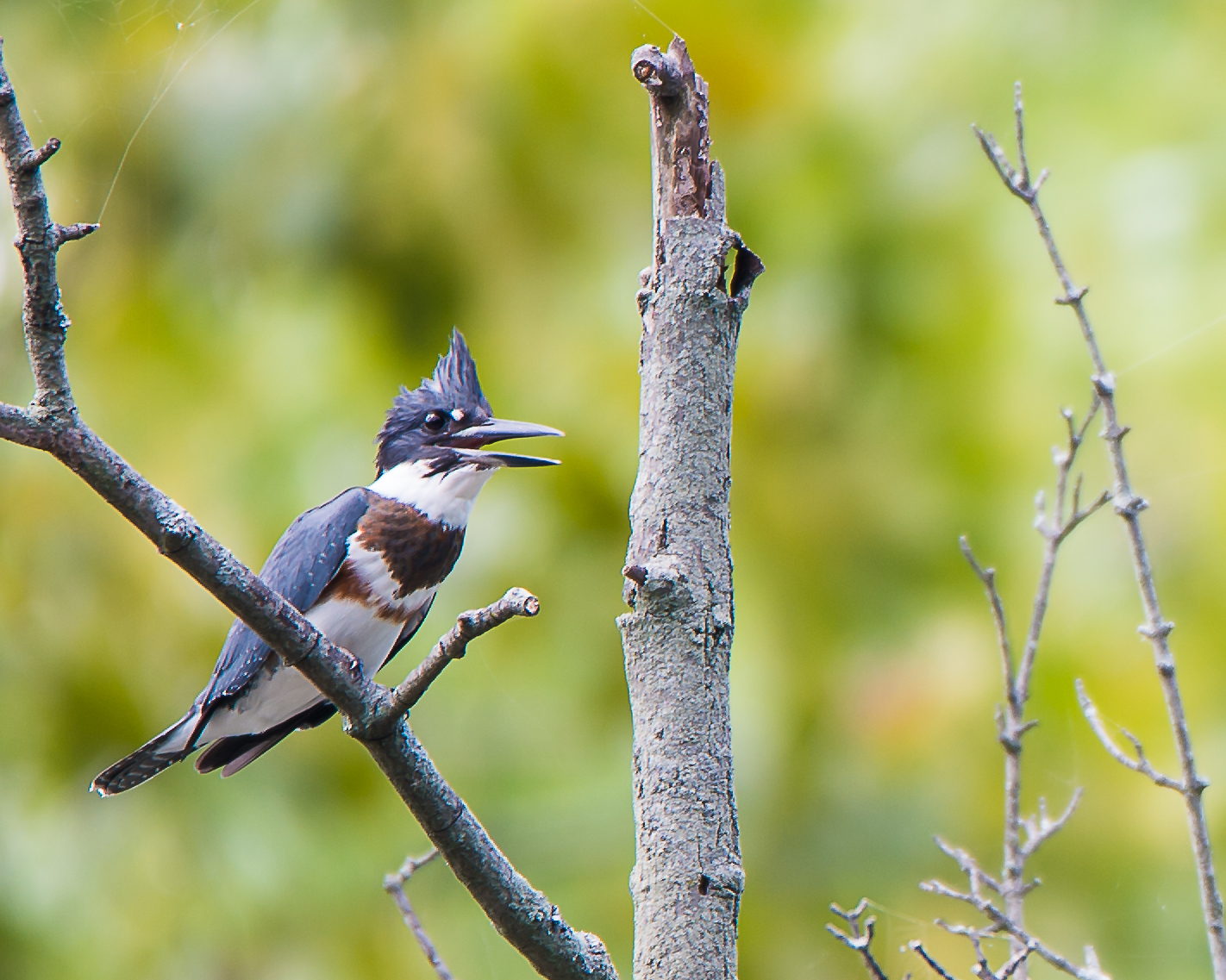 Persistent Kingfisher