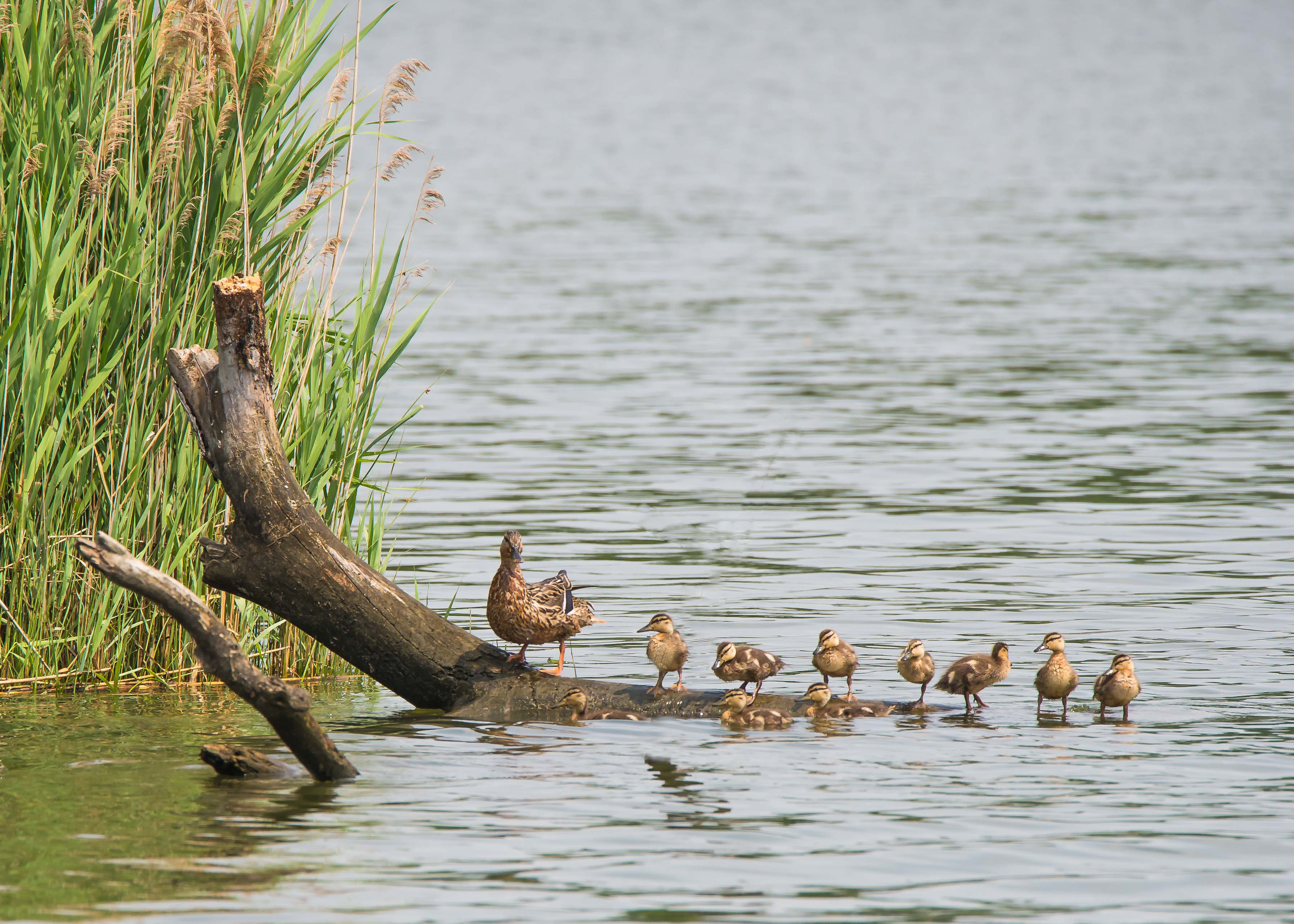 Make Way for Ducklings end of July