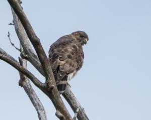 Cooper's Hawk Croton 9-23-2014-1